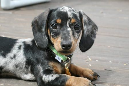 Dapple Daschund.... I want another one cause mine was adorable!!!!
