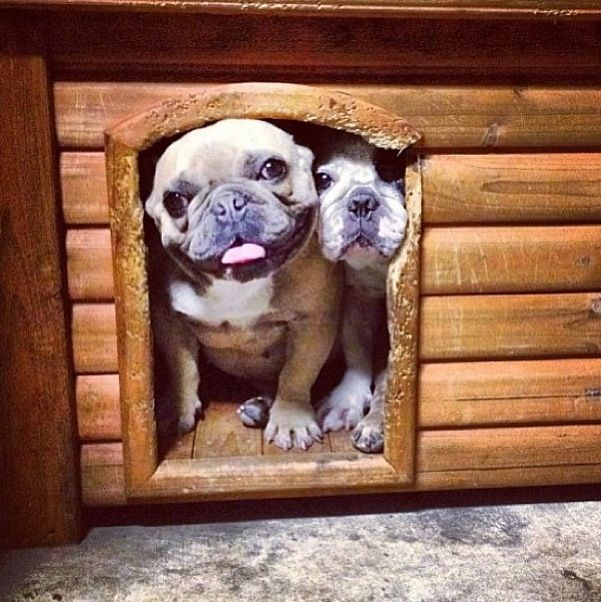 Frenchie | Funny Dogs | Pinterest
