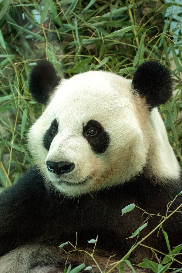 Atlanta+Zoo+Panda Zoo Atlanta houses over 1,300 animals representing ...