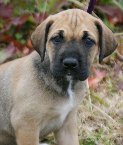mastiff great dane mix | Doggies | Pinterest