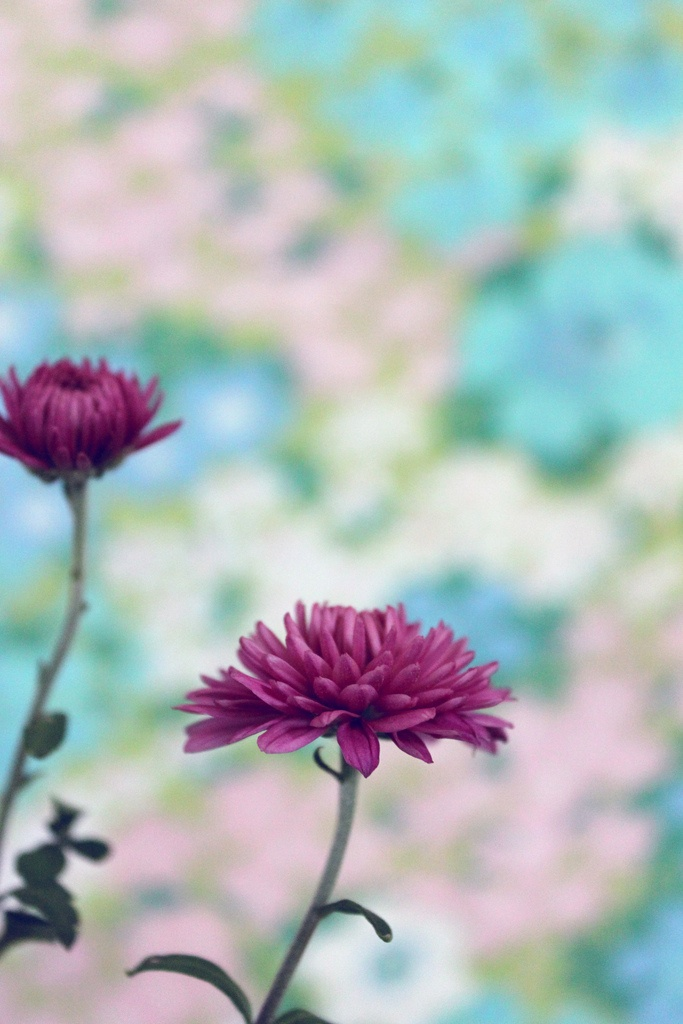 Chrysanthemum November Birth Flower Gardening Pinterest