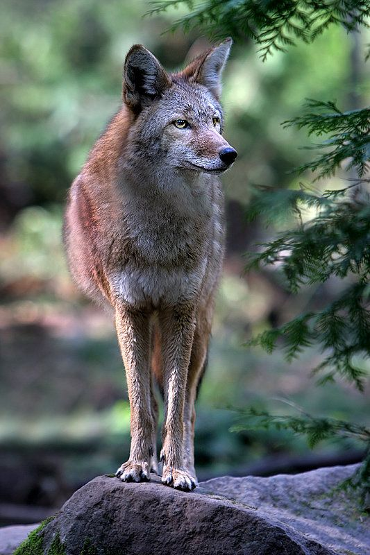 Coyote | Wolves, Foxes, and Coyotes | Pinterest