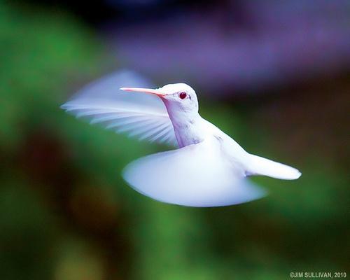 Albino Hummingbird picture