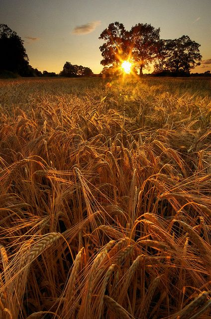 Barley Field Sunset, Lymm, England  photo via meggie