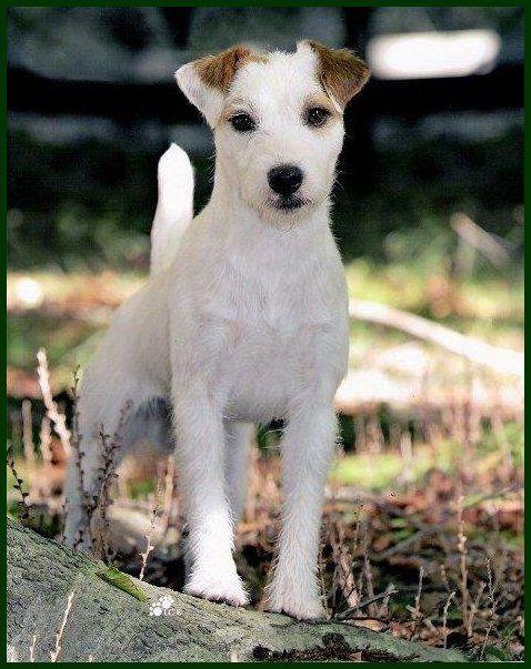 Le Parson Russell Terrier 135e2031c1a724c0952d78c8acaab2a9