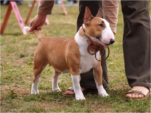Art Miniature Bull Terrier dogs   Creative