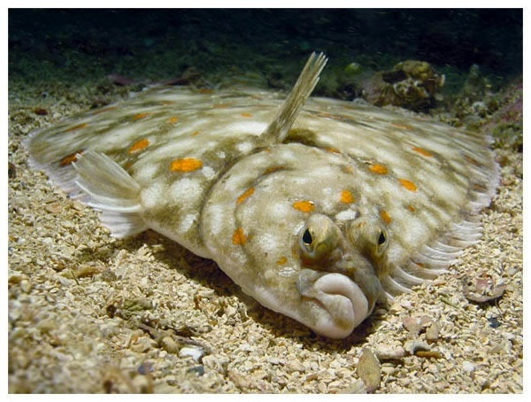 Pin by ethan dropkin on life list fish pinterest for Winter flounder fishing