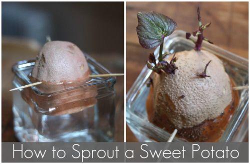 How to plant sweet potato indoor