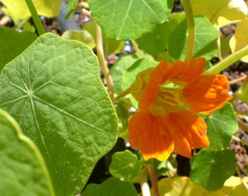 Edible Flowers - garden and wild flowers you can eat