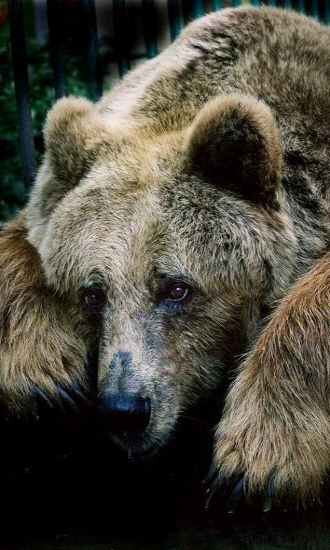 Grizzly Bear thewildan...