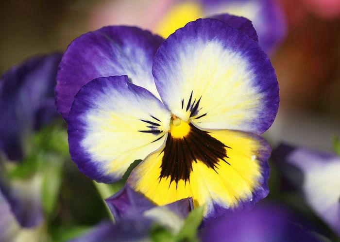 blue-yellow-pansy | Edible Flowers | Pinterest