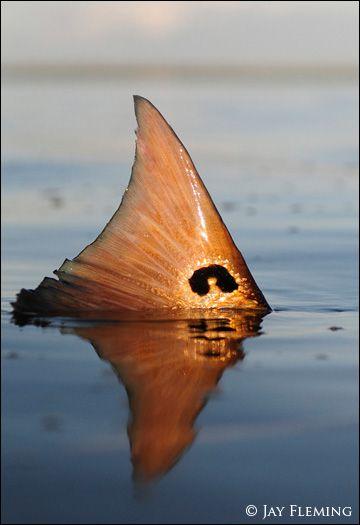 Nice red fish tail Fishing Pinterest