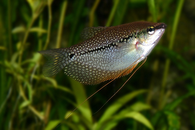 Pearl Gourami, depending on the behaviour of the schooling fish. Some ...
