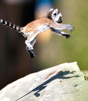 This Lemur youngster is taking a leaping jump.
