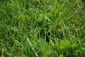 Southern grass types - Drought tolerant grass varieties ...