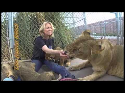 Hand feeding pebbles and her 3 cubs at lion habitat ranch henderson