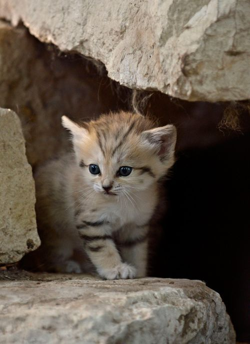 the rare Sand Kitten! How cute! (via HuffPostGreen)