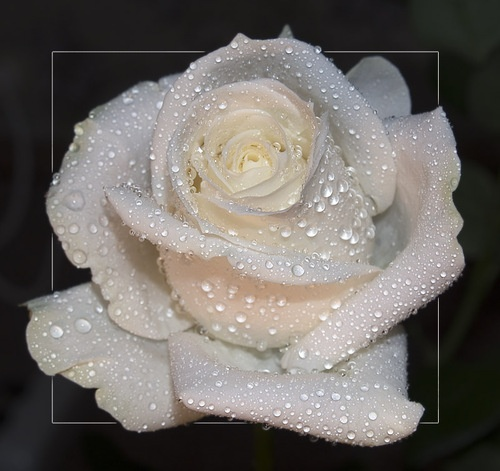 white rose with...