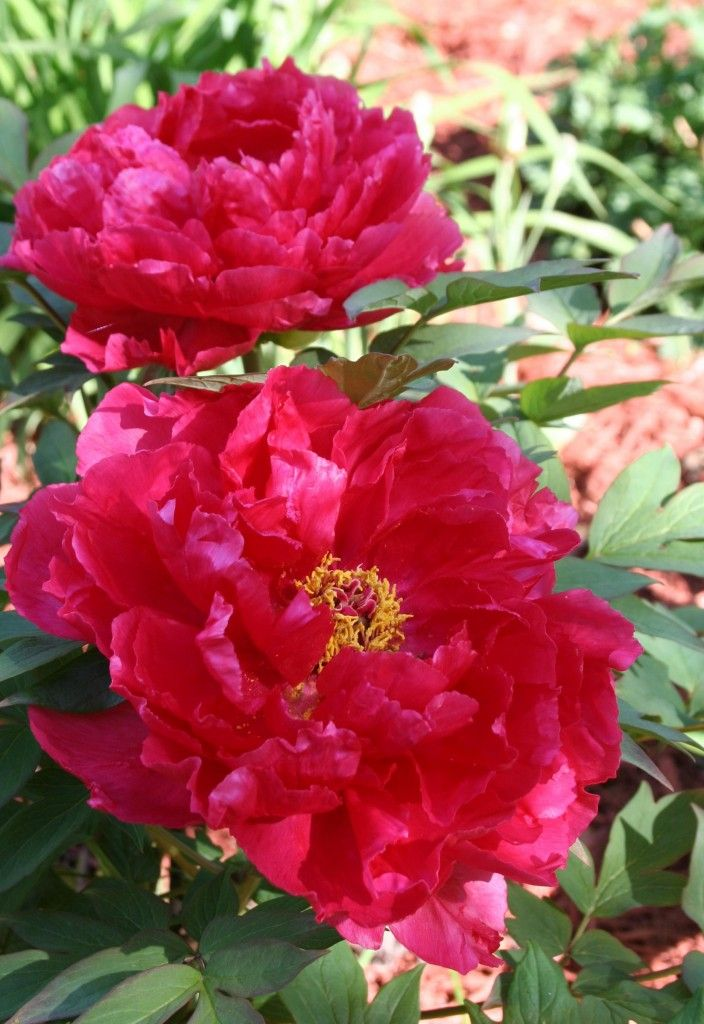 How to grow peonies flowers and outdoors pinterest - Growing peonies in the garden ...