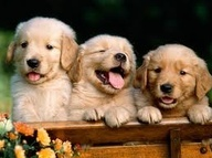Cute baby puppies google search golden retrievers pinterest