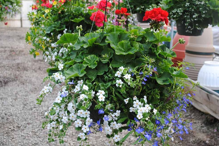 Hanging Basket Flowers Part Shade : Pin by vicki beeghly on potted plants hanging baskets