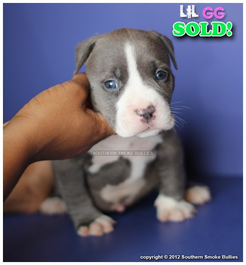 Bully Dog For Sale South Florida