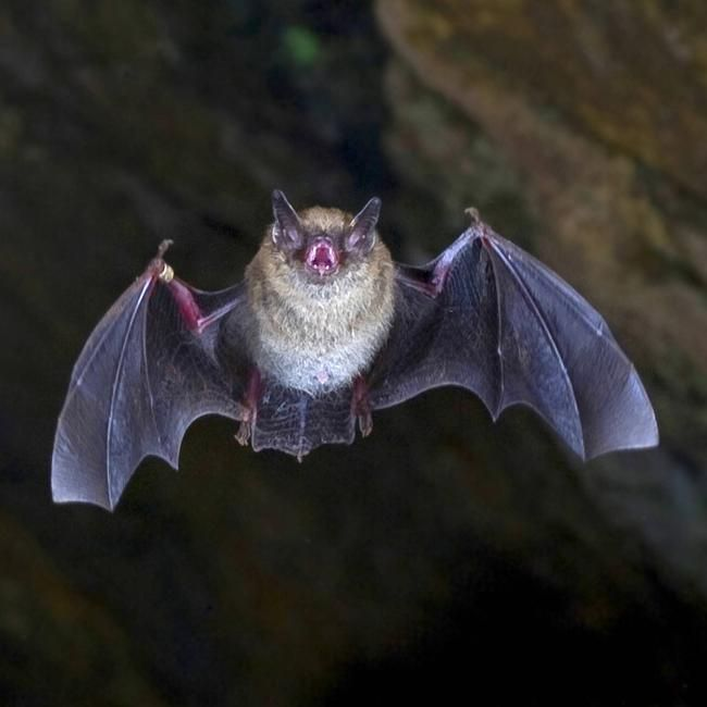 コウモリの画像 p1_25