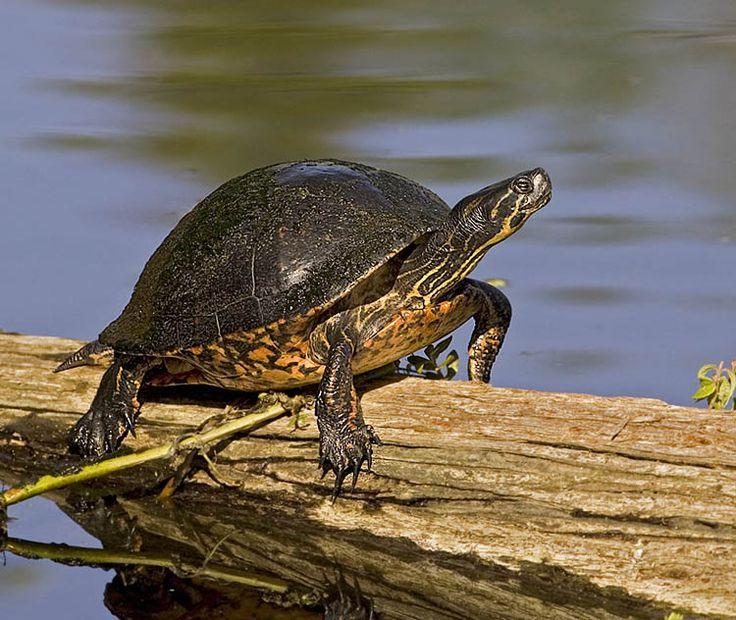 Fresh water Turtle fresh water pet for goodluck Pinterest