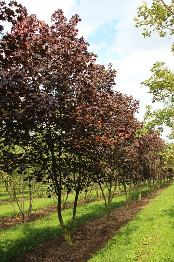Acer platanoides 39 royal red 39 ebben multistem trees - Arce platanoide ...
