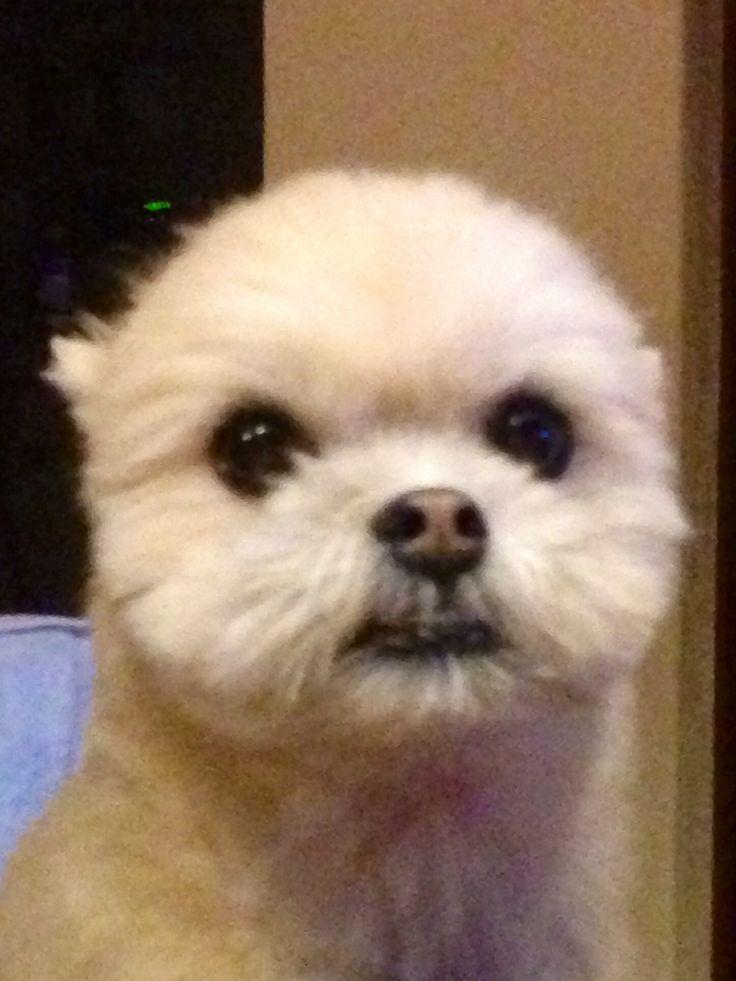 Shih tzu/Pomeranian Mix | Shih Tzu/Pomeranian. Mix | Pinterest