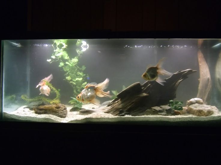 Goldfish tank water fire air earth spirit pinterest for Fancy fish tanks