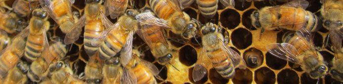 Honeybee Conservancy | Rodale Institute