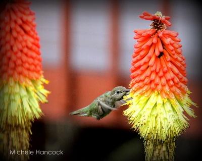 COUNTRY VILLA DECOR Hummingbird Garden   We Garden   Pinterest