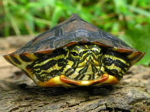pond slider Turtles and other sea creatures Pinterest