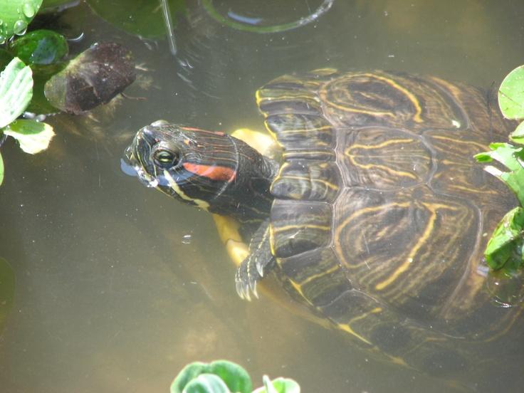 Slider Turtle Care : Red Eared Slider Turtle Red Eared Slider Turtle Care Pinterest