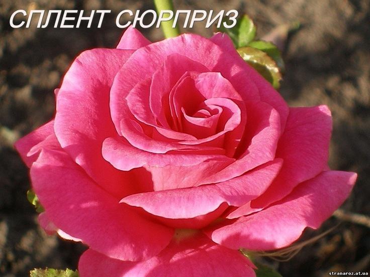 Страна роз