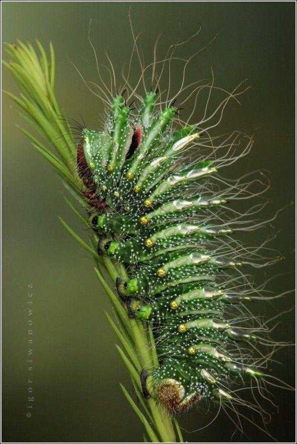 Caterpillar by Igor Siwanowicz