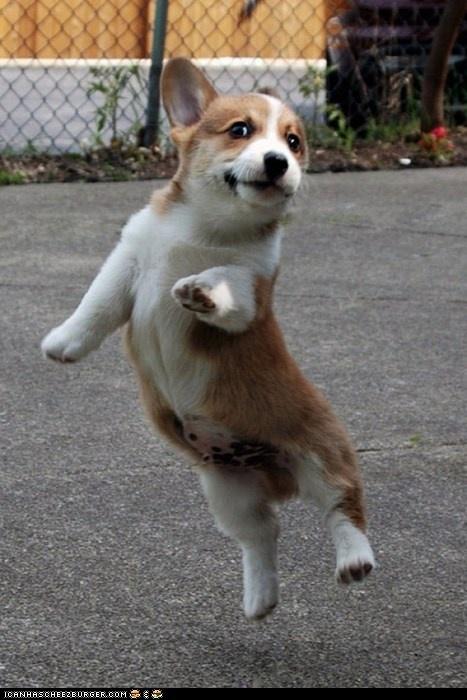 Happy dancing corgi