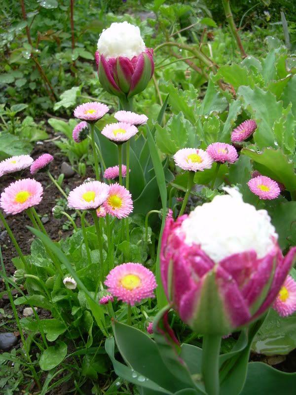 tulip 39 ice cream 39 garden pinterest. Black Bedroom Furniture Sets. Home Design Ideas