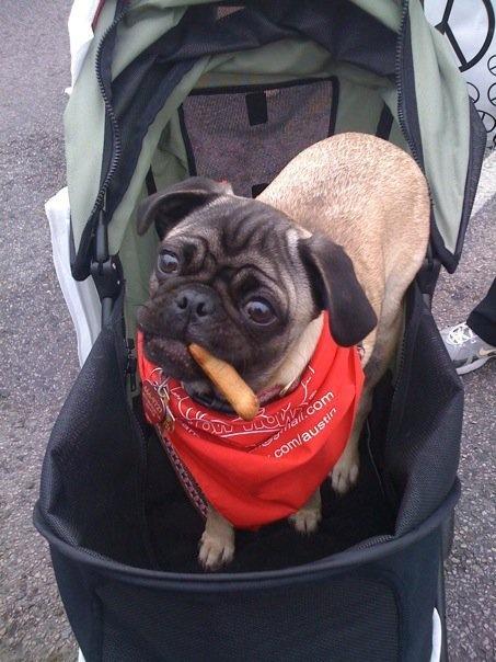 pug with a weenie! | Doggies!