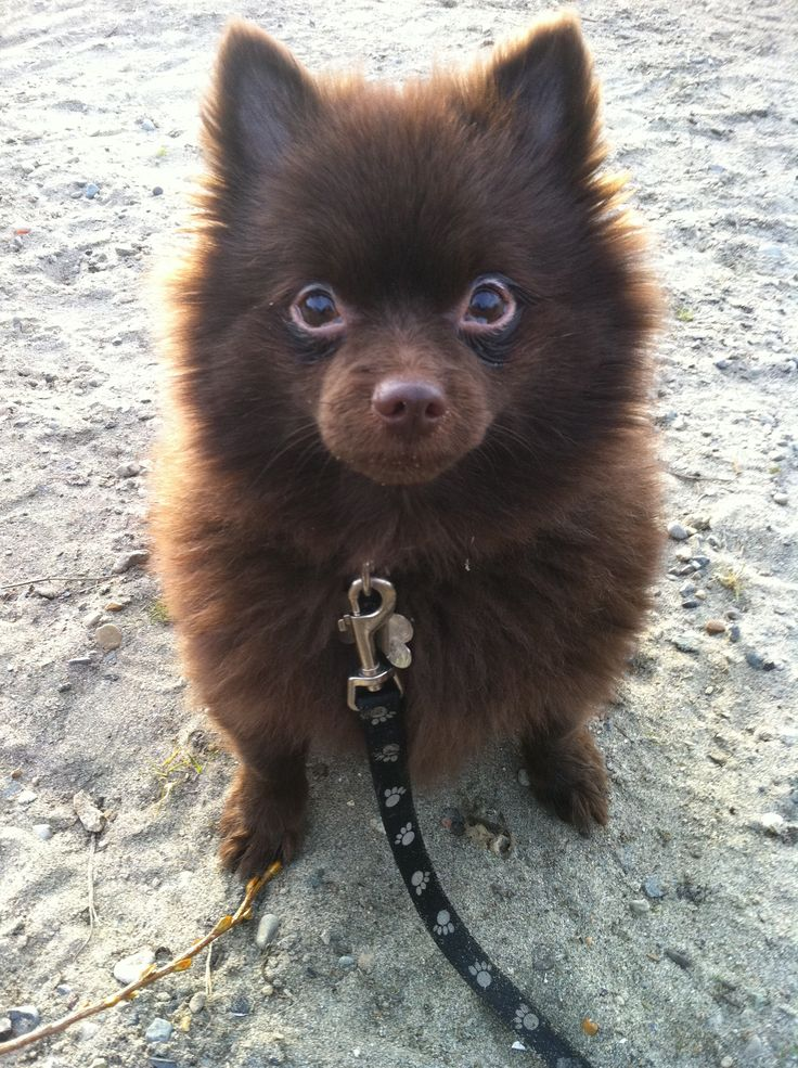 Brown pomeranian - photo#10