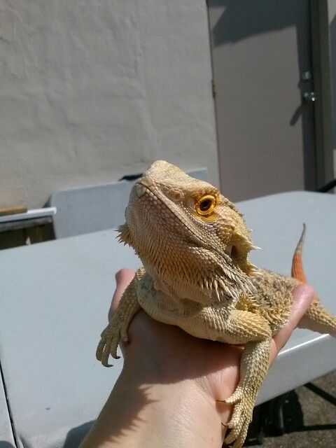 my bearded dragon: ) to cute: p | Beardie Love | Pinterest