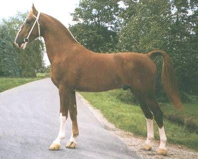 Gelderlander - stallion Nickson - 24.5KB