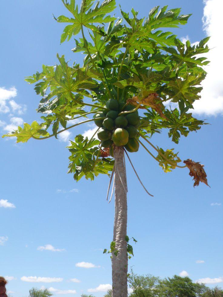 how to grow papya in australia