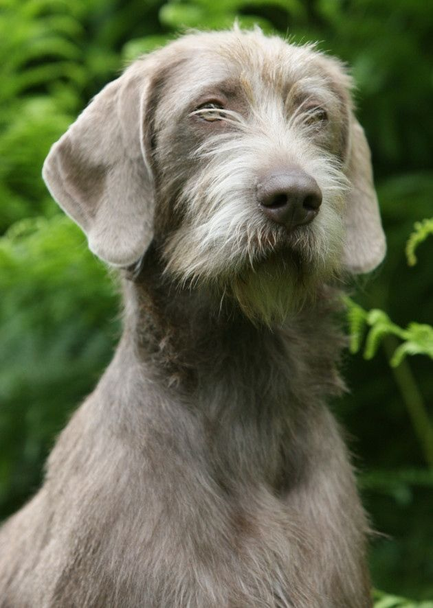 Slovakian Wirehaired Pointer For Sale | Dog Breeds Picture