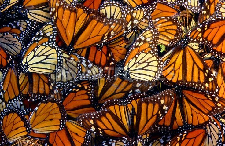 Butterfly Swarm | Butt...