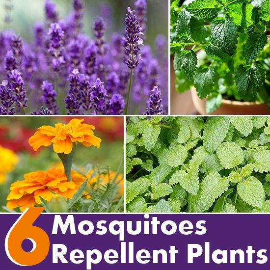 6 plants that repel mosquitoes diy this that pinterest for What plants naturally repel mosquitoes