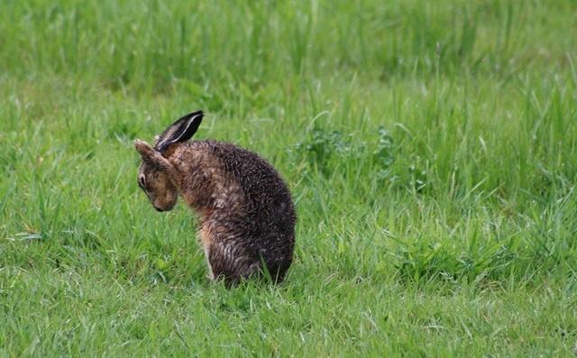 Delfgauw Netherlands  City new picture : Animals in Delfgauw, Netherlands hare washing fur after big rainstorm ...