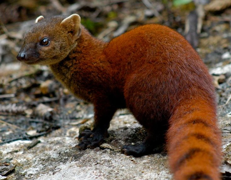 The Regal Ring-Tailed MongooseRing Tailed Mongoose