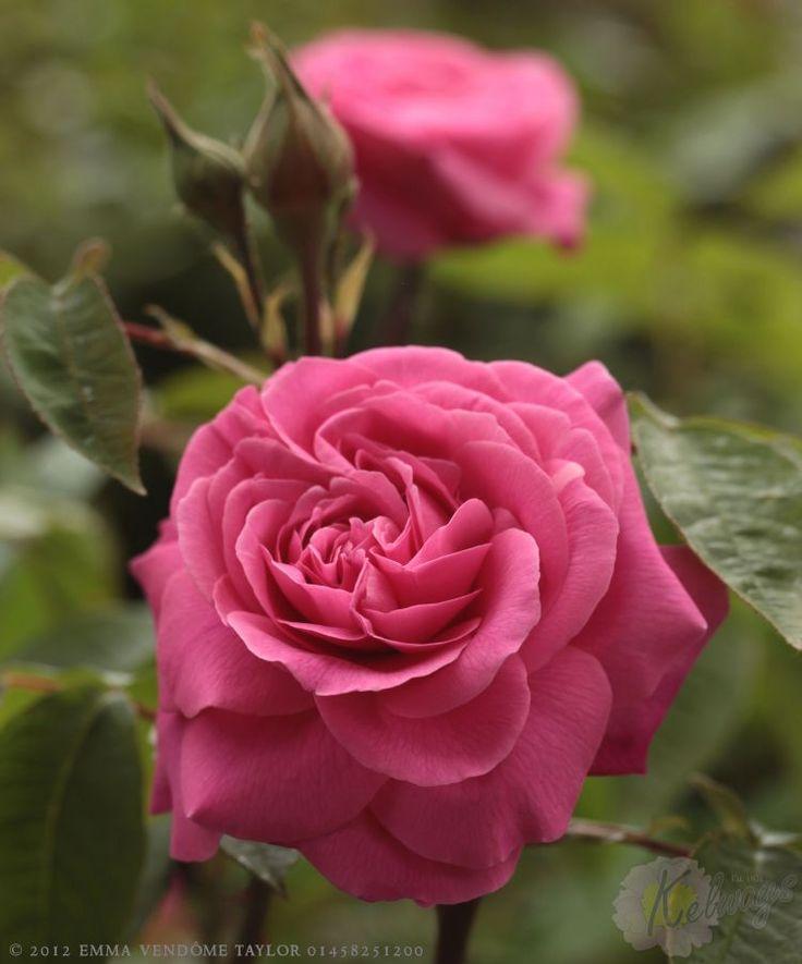 david austin rose 39 gertrude jekyll 39 beautiful flowers in vases wi. Black Bedroom Furniture Sets. Home Design Ideas